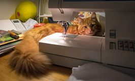 Cute red Maine Coon kitten stock image