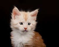 Cute red Maine Coon kitten portrait Royalty Free Stock Photos