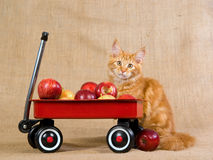 Cute red Maine Coon MC kitten with red wagon Stock Images