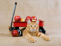 Cute red Maine Coon MC kitten with red wagon. Pretty and cute red and white Maine Coon kitten with miniature red wagon filled with apples, against hessian royalty free stock photography