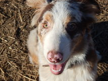Cute Red Merle Aussie Royalty Free Stock Photography