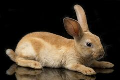 Free Cute Red Orange Brown Rex Rabbit Isolated On Black Stock Images - 180749444