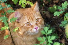 Cute red orange cat outdoor in grass in nature. Beautiful cat portrait with attentive look close up. Beautiful orange cat portrait with insight look outdoors in royalty free stock photo