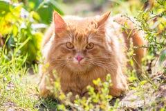 Cute red orange fluffy cat lies outdoor in summer garden in green grass in sunlight. Attentive look at camera. Cute red orange cat outdoor in grass in nature stock photo