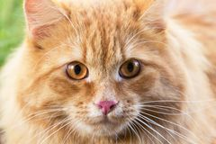 Cute red orange fluffy cat portrait close-up, macro. Attentive, insight look. Beautiful Cute red orange fluffy cat portrait close-up, macro. Attentive, insight royalty free stock image