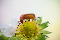 Cute red orange insect bug with huge antennae exploring and sucking yellow strawberry flower burgeon. On highlighted blurred background macro close up with copy Stock Photography
