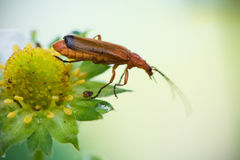 Cute red orange insect bug with huge antennae jumping from yellow strawberry flower burgeon Stock Photos