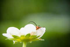 Cute red orange insect bug lying in strawberry flower looking at camera and moving his huge antennae in blurred green background Stock Photo