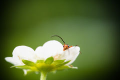 Cute red orange insect bug lying in strawberry flower looking at camera and moving his huge antennae in blurred green background Stock Images
