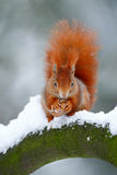 Cute red orange squirrel eats a nut in winter scene with snow Royalty Free Stock Photo