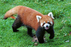 Cute red panda. In the grass Stock Photo
