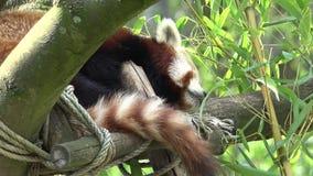 Cute red panda bear Ailurus fulgens sleeping in a tree stock video footage