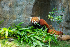 Cute red panda eating bamboo Stock Image