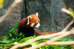 Cute red panda eating bamboo Stock Images