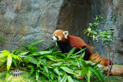Cute red panda eating bamboo Stock Photo