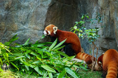 Cute red panda eating bamboo Stock Photos