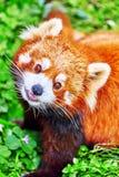 Cute Red Panda. Stock Photos