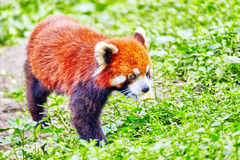 Cute Red Panda. Royalty Free Stock Image
