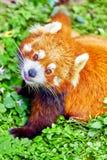 Cute Red Panda. Royalty Free Stock Photo