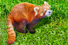 Cute Red Panda. Royalty Free Stock Photography