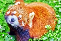 Cute Red Panda. Stock Images