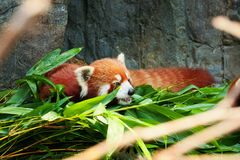 Cute red panda laying down Stock Photography