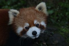 Close up Red Panda. Cute Red Panda is Looking at the Audiences with the thought that The Audiences might give him some treats stock photo