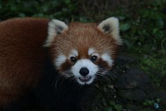 Close up Red Panda. Cute Red Panda is Looking at the Audiences with the thought that The Audiences might give him some treats stock photos