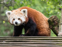 Cute Red Panda Looking at the Camera. Cute Red Panda Looking Out From the Top of its Den Stock Image