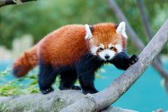 Cute red panda Royalty Free Stock Photos