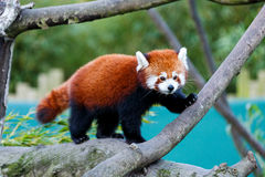 Cute red panda Stock Photos