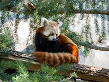 Cute Red Panda sitting on the tree. Sacramento, California Stock Photo