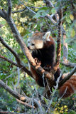 Cute red panda Royalty Free Stock Photos