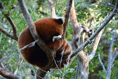 Cute red panda Stock Photography