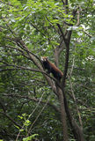 Cute red panda on the tree Stock Photos