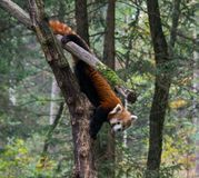 A cute red panda on a tree royalty free stock photos