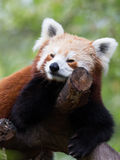 Cute red panda on the tree Royalty Free Stock Images