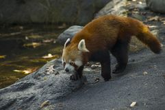 Red panda. A cute red panda walking near the river stock images