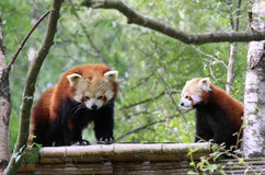 Cute red pandas. Two red pandas on a man-made tree-house Royalty Free Stock Image