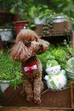 Cute red poodle. Cute poodle dog with teddy bear and flowers, white studio background Royalty Free Stock Photography