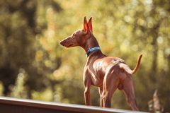 Cute red puppy Stock Photography
