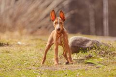 Cute red puppy. With big ears Stock Photos