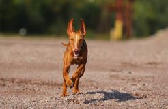 Cute red puppy. With big ears runs to the photographer Stock Photos