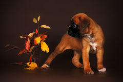 Cute red puppy boxer beside autumn leaves Royalty Free Stock Photography