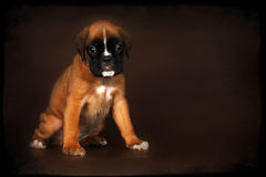 Cute red puppy boxer sitting Stock Photo