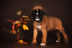 Cute red puppy boxer stands on a brown background Stock Images
