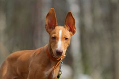 Cute red puppy. With big ears Stock Photography