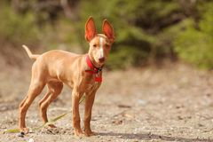 Cute red puppy. With big ears Royalty Free Stock Photos