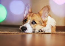 Cute little red puppy dog Corgi lies on the floor and looks dreamy and with sad eyes on the background of festive circles of light royalty free stock photo