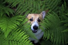 Cute puppy dog corgi on a walk in the summer park he hid in the thick thickets of fern leaves and peeps funny. Cute red puppy dog corgi on a walk in the summer stock images